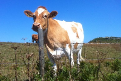 Guernsey cow on Herm Island