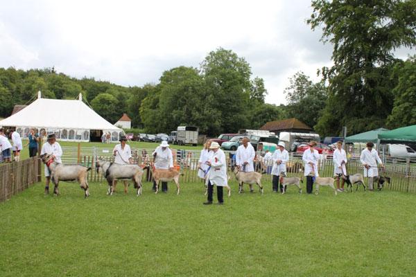 Goats at a show