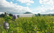 Field of alfalfa