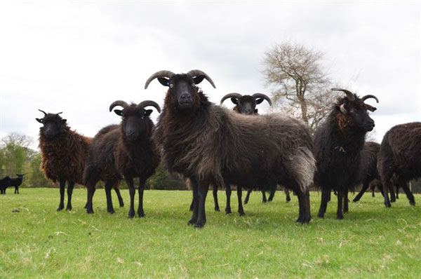 Hebridean sheep for conservation grazing