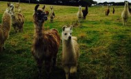 Llama herd at Llama Land in Cornwall