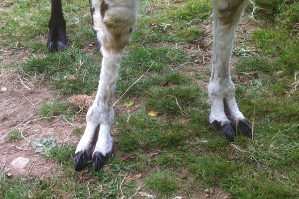 Llama toe nails