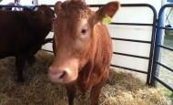 raising cattle for dariy or beef