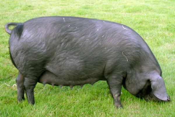 Large Black sow