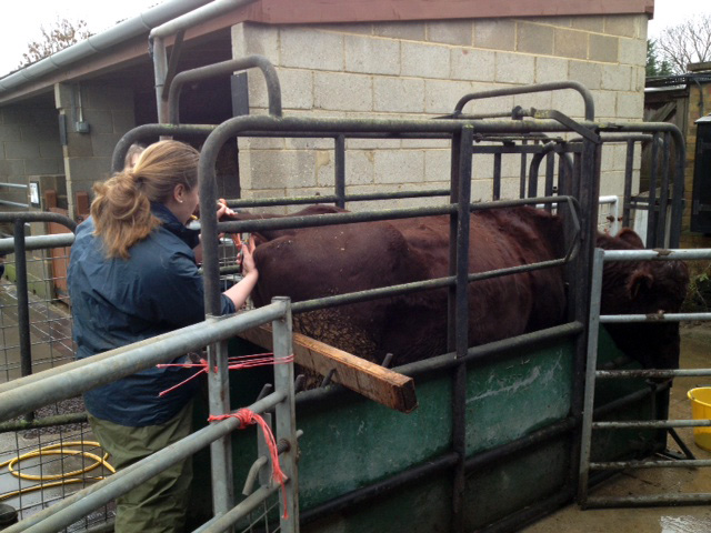 Taking a blood sample from a cow
