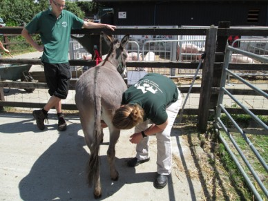 Checking a donkey's udder at a city farm