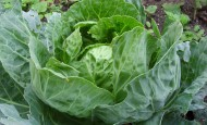 autumn_cabbage_600