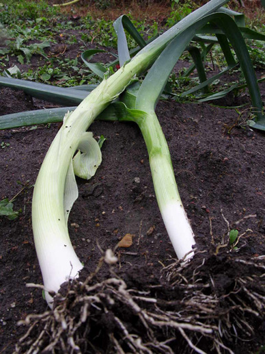 Heel leeks in to make them easier to pull when needed