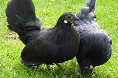 Rosecomb bantam hens black