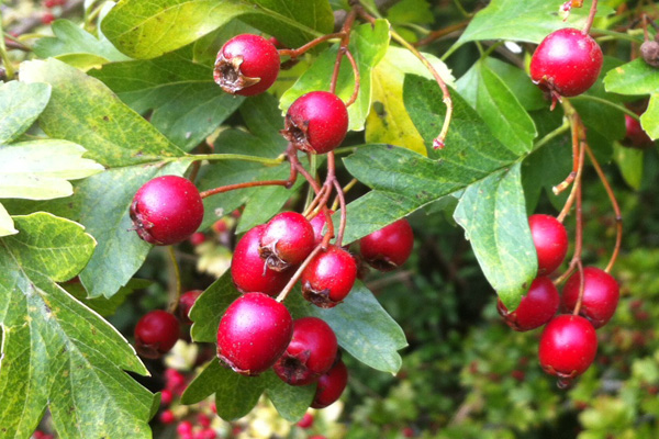 Hawthorn fruit - haws