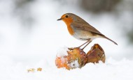 Robin eating fallen fruit at Christmas