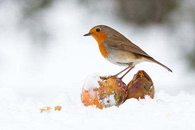 Robin eating fallen fruit at Christmas