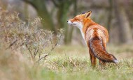 Fox - has he caught the scent of a chicken