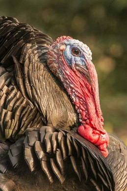 Stag turkey