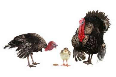 Turkey family group