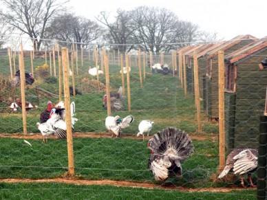 Breed groups of turkeys