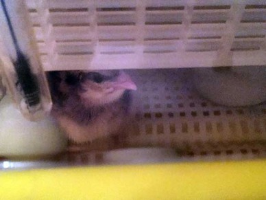 Chick drying in an incubator