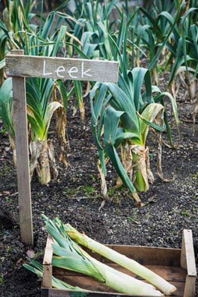 leeks_growing_388