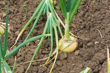 Yellow onion bulb growing