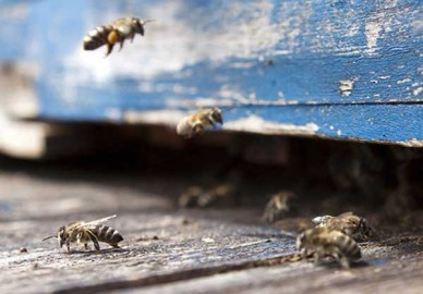 Honey bees at them entrance to their hive