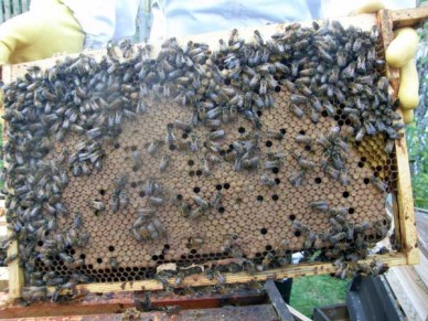 A beehive frame