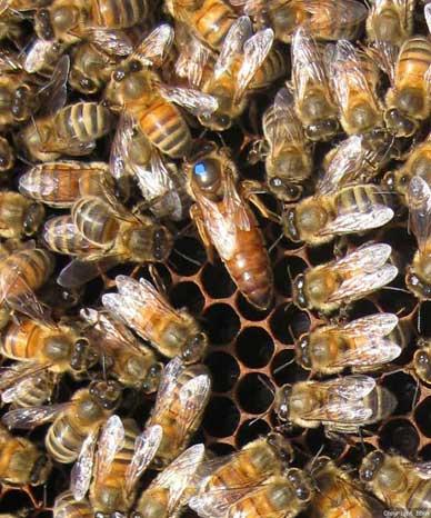 Queen bee identified by blue spot