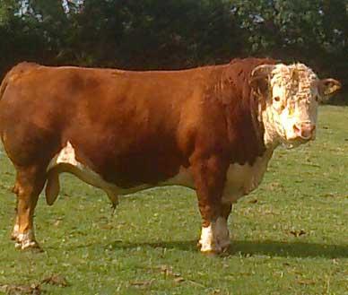 Mini Hereford bull