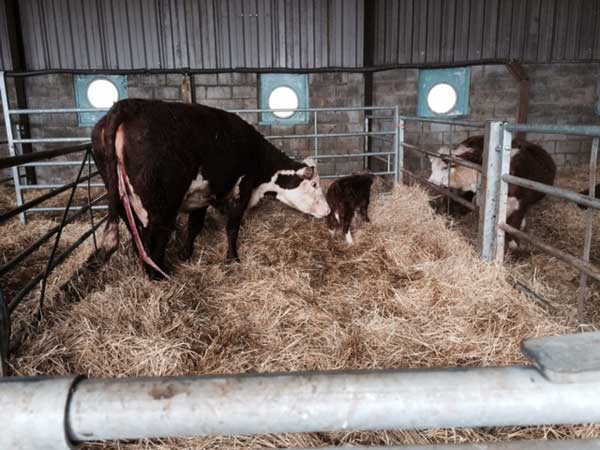 Standard Hereford mum with mini calf