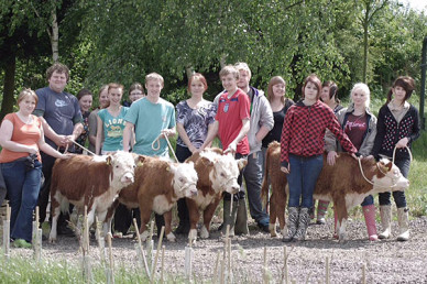 Mini Herefords being halter trained