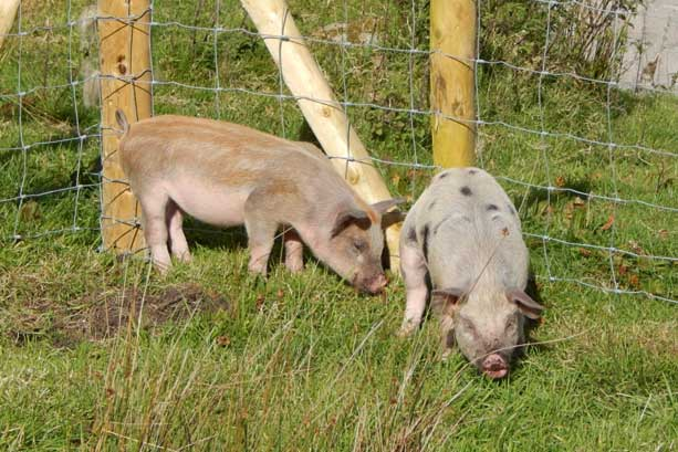 ...and the two weaners