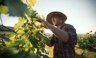 Farmer checking vines