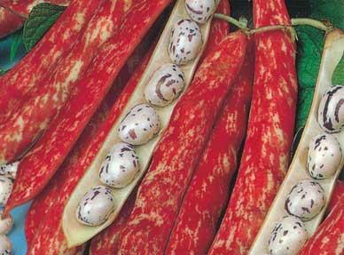 Firetounge beans