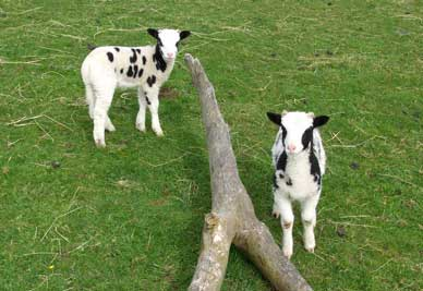 two_lambs