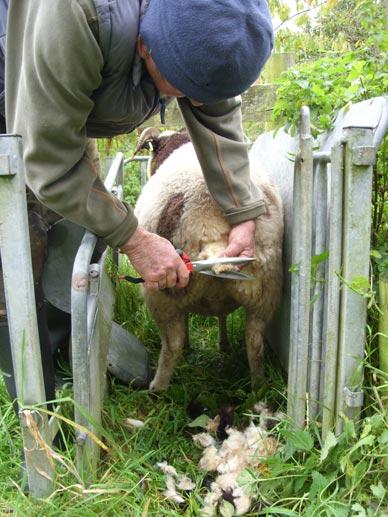crutching-sheep_web